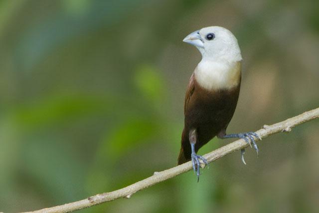 Burung Pipit yang Jarang Bernyanyi