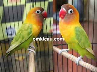 Segera download suara burung lovebird ngekek panjang sampai konslet