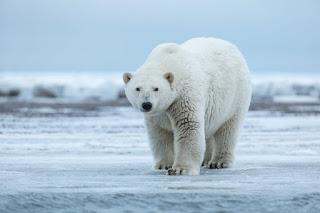 تفسير رؤية الدب القطبي في المنام
