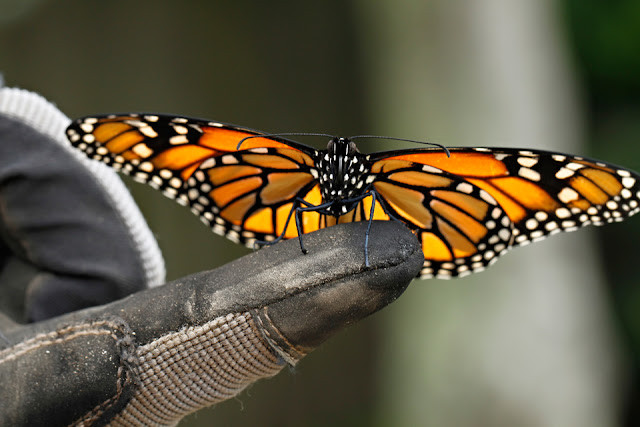 Monarch Butterfly on Garden Glove Finger