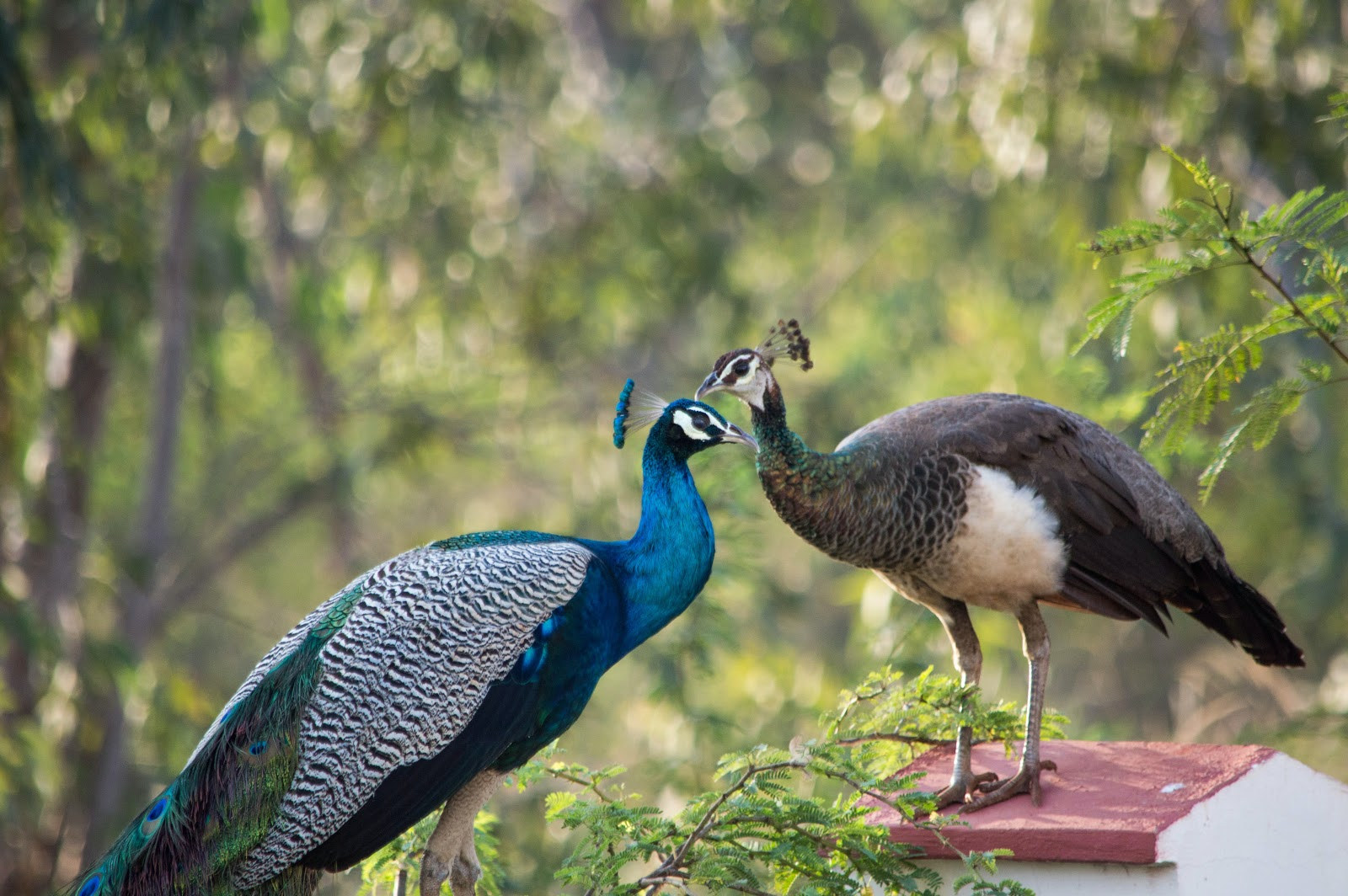 peacock-and-peahen-together-images