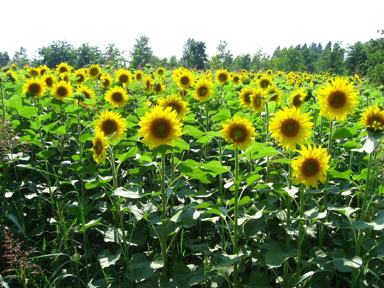 T Wallpaper For Girls Beautiful Sunflowers