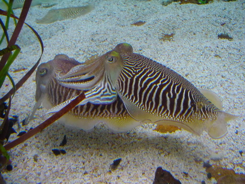 Kraken Schnabel