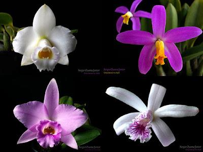 Orquídeas Laelia