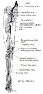 Deep Venous Thrombosis anatomy