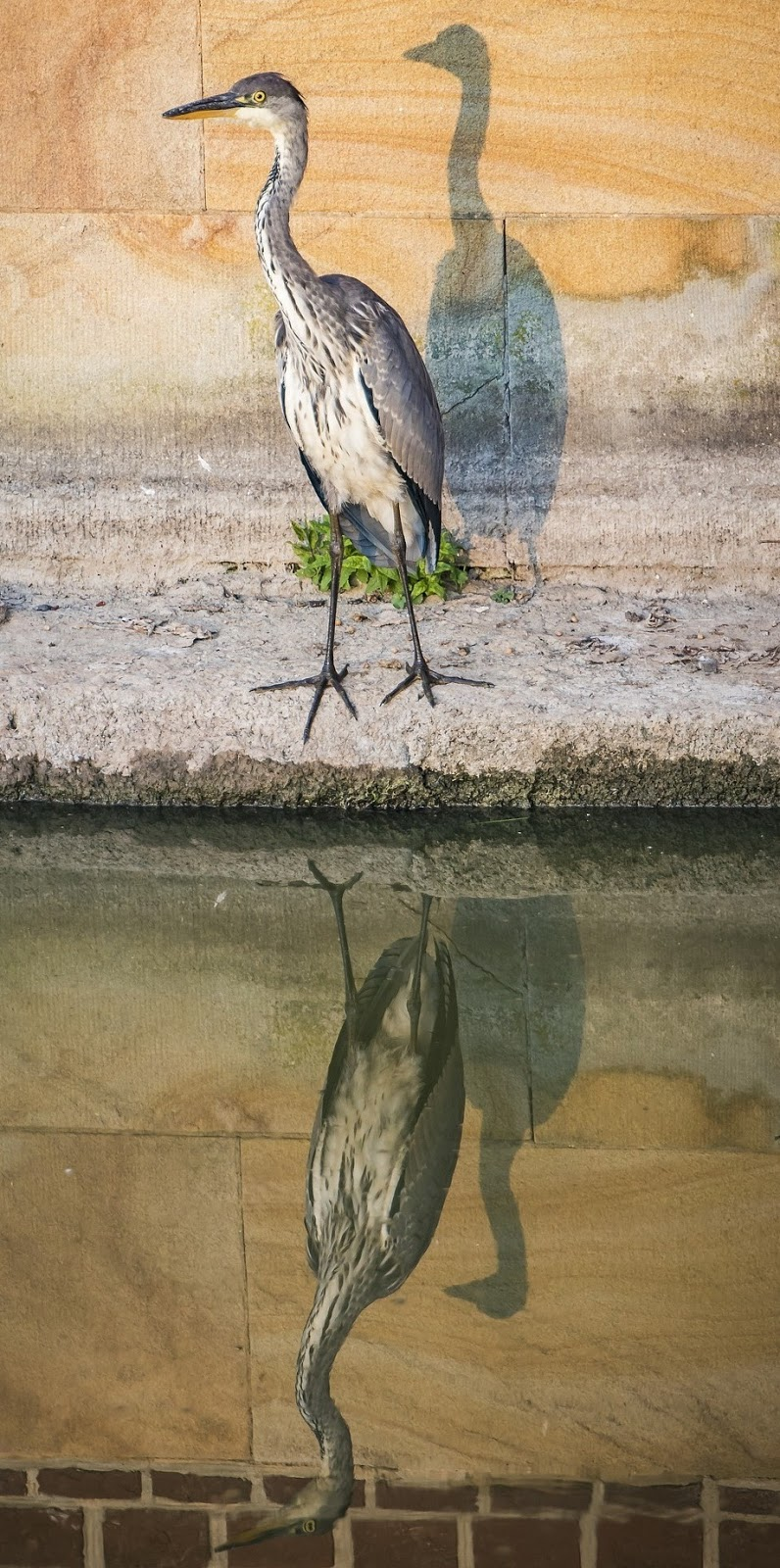 Heron's amazing reflections.