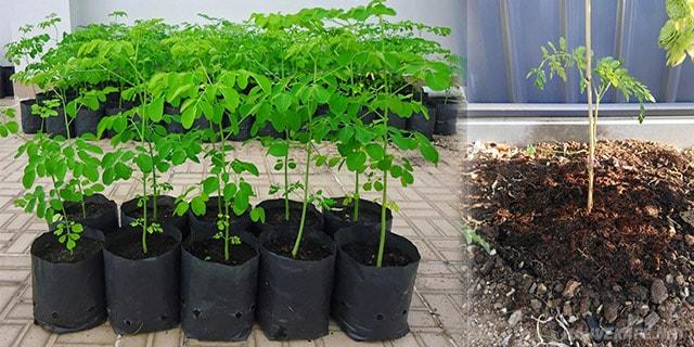 moringa ağacı fidanı nasıl dikilir - www.kahvekafe.net