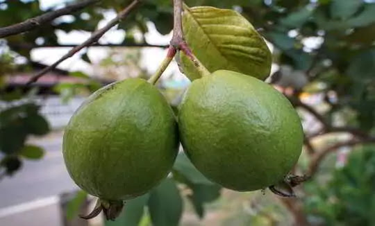 You Don't Know the Health Benefits of Eating Roasted Guava.