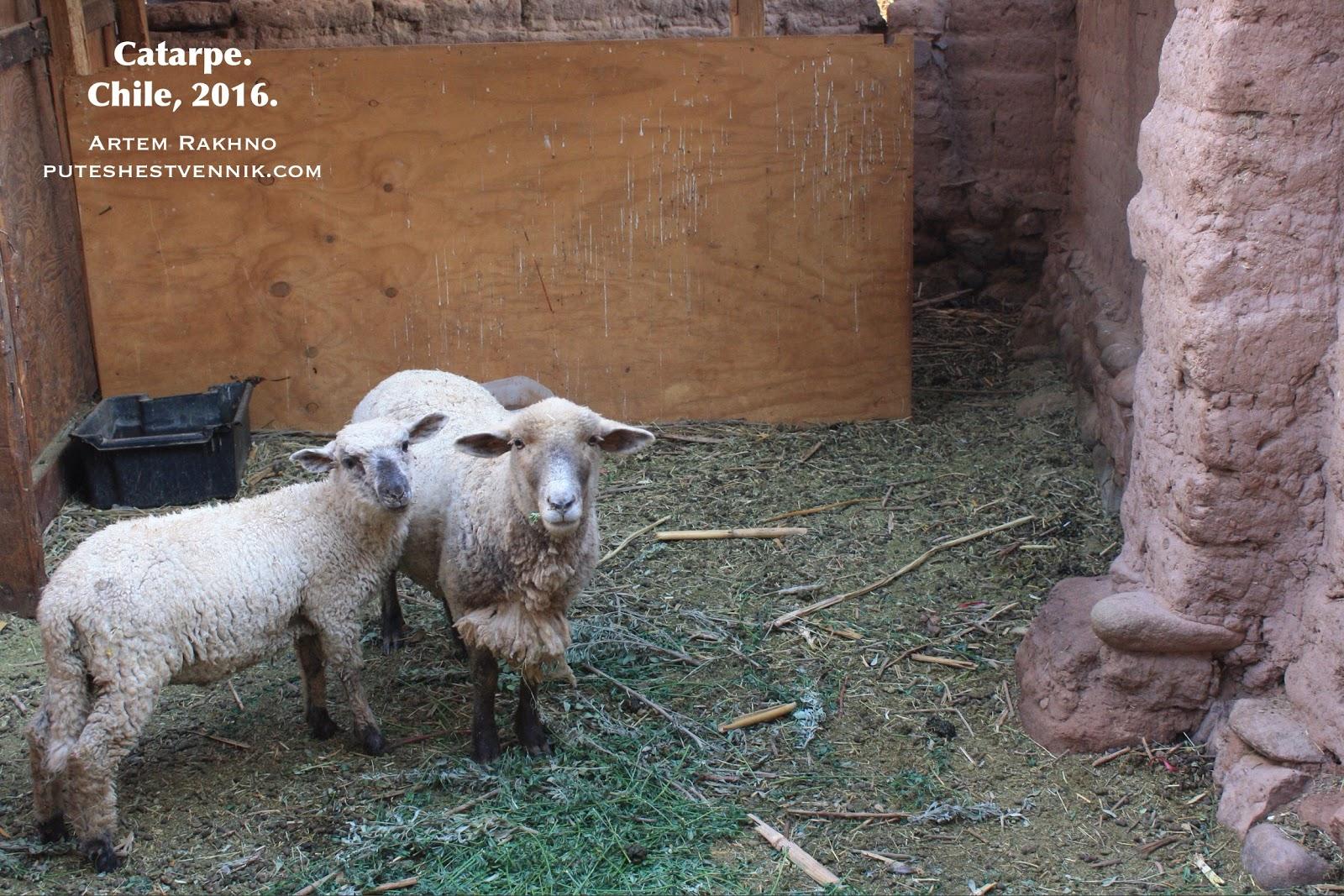 Овцы в чилийской деревне