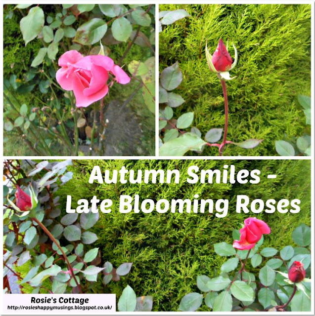 Autumn Smiles - Late Blooming Roses