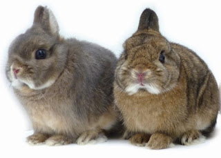 jenis kelinci kerdil