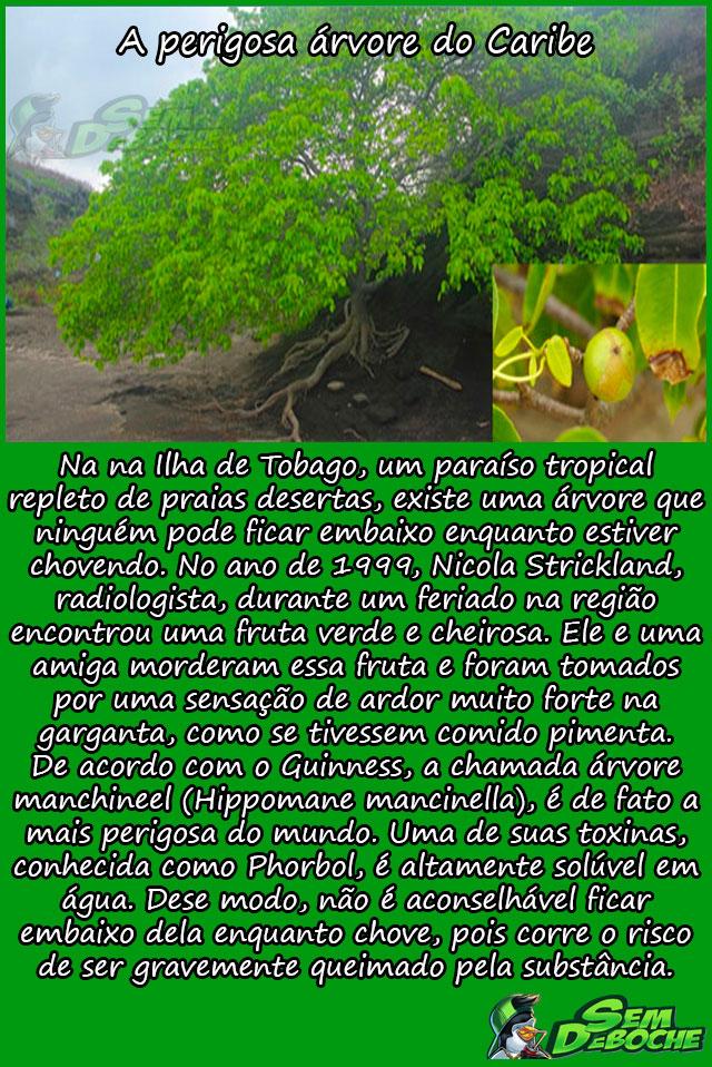 A perigosa árvore do Caribe