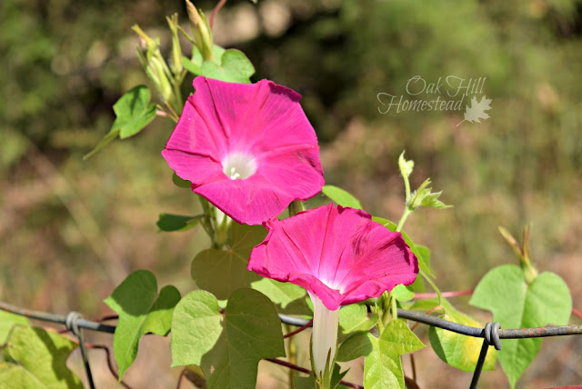 Pink morning glories - Oak Hill Homestead
