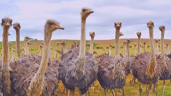 "The world's biggest bird ""ostrich"" is found in South Africa."