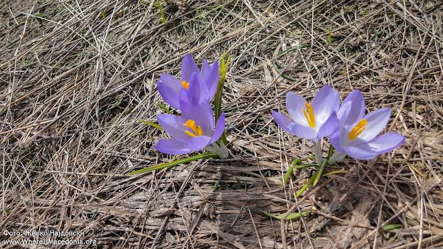 Crocus plant - Medicinal Plants in Macedonia
