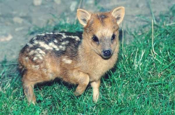 اصغر حيوانات في العالم,اصغر, اصغر حيوان في الارض,اصغر حيوان بري,اصغر سلحفاه في العالم,اصغر غزال بالعالم,الغزلان النادرة,الغزلان البودو,