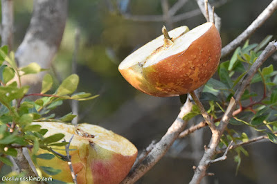 Pomes pels ocells