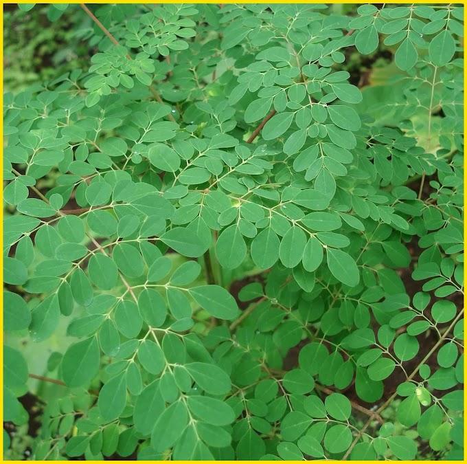 Yuk, Tanam Pohon Kelor dan Dapatkan Manfaat Daunnya Bagi Kesehatan