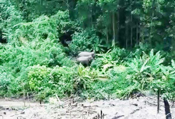 Voi xuất hiện ở khu vực bìa rừng Quảng Nam để kiếm ăn