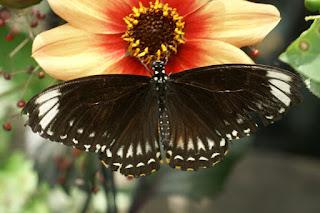 Papilio clytia palephates