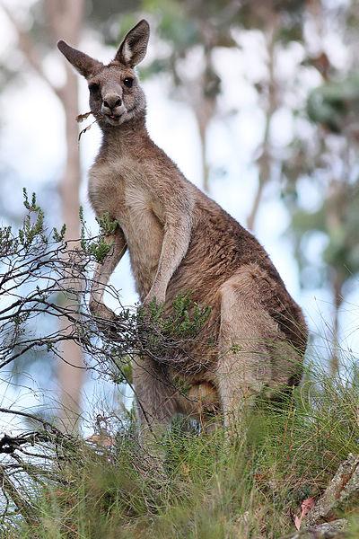 Informasi Tentang Kanguru  Fauna Gue