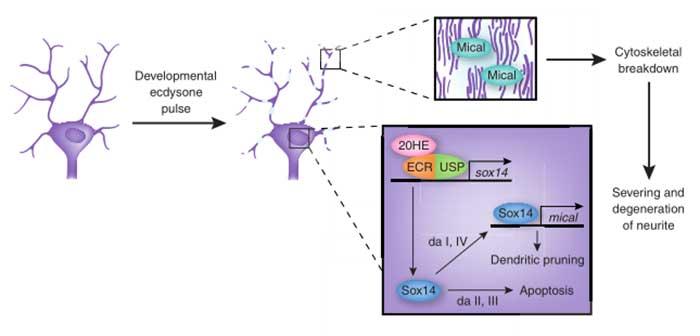 Neuronal Death