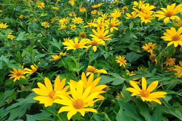 Benefits of Kipahit Leaf Efficacy for Body Health