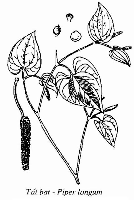 Hình vẽ Tất Bạt - Piper longum - Nguyên liệu làm thuốc Chữa bệnh Mắt Tai Răng Họng