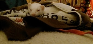cute albino ferret sleeping hoodie floor dirty clothes stinky white