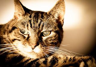Tu gato odia en secreto el contacto visual