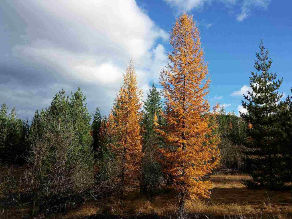 Tamarack or larch tree