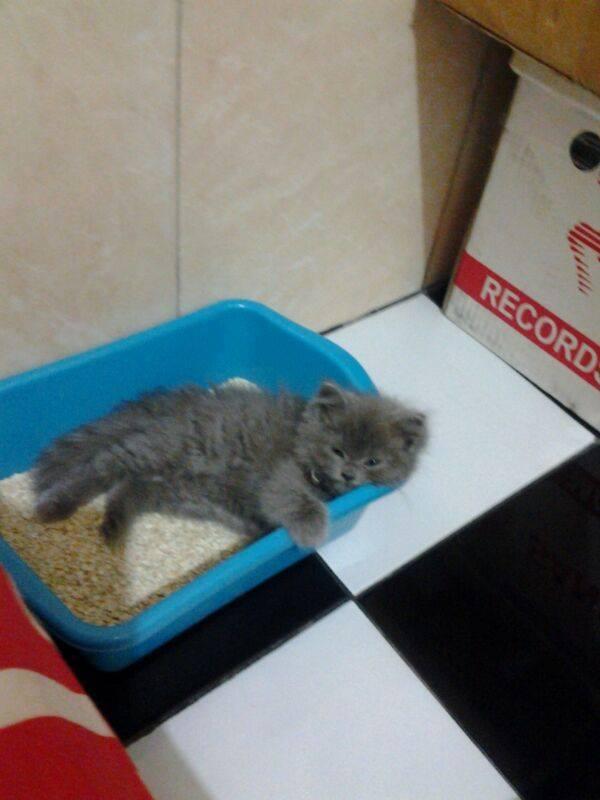 anak kucing tidur di litter box