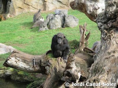 Chimpancé en Bioparc Valencia