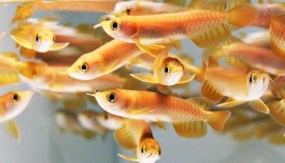 Gambar Anakan Ikan Arwana