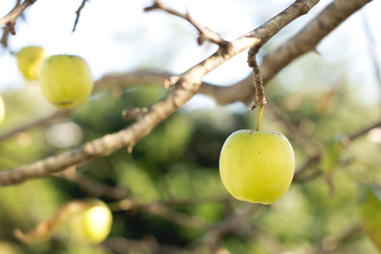 Success Comes to Those Who Are Patient: Apples in The Orchard