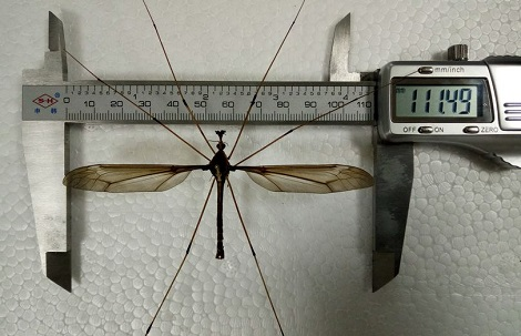 Photos Of World's Biggest Mosquito Discovered