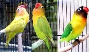 Ciri-ciri Lovebird Ngekek Panjang