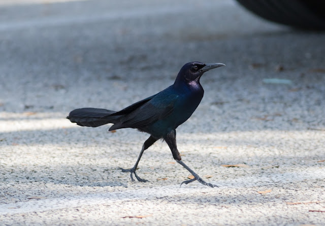 Boat-tailed Grackle - Florida