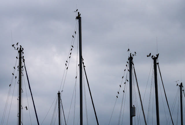 Photo of a few of the starlings that spend a lot of time at our marina