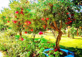 Pomegranate tree for sale