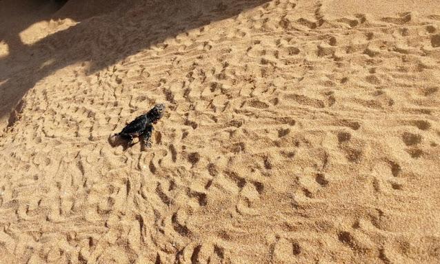 Nate più di 400 tartarughe tra Siracusa e Ragusa