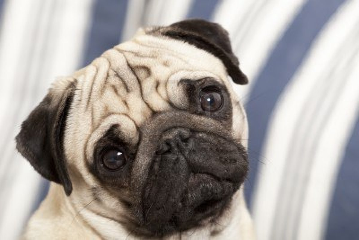 Cute Dachshund Wallpaper Cute Dogs Pug Dog
