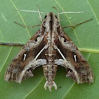 A brownish-grey patterned Hawk Moth adult on a green leaf.
