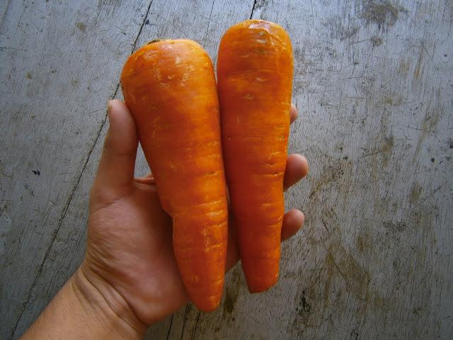 zanahoria fresca usado para preparar un batido o hacer un extracto de betarragas y zanahorias