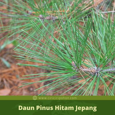Ciri Ciri Daun Pinus Hitam Jepang