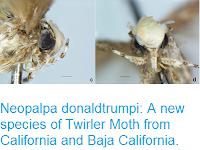 http://sciencythoughts.blogspot.co.uk/2017/05/neopalpa-donaldtrumpi-new-species-of.html