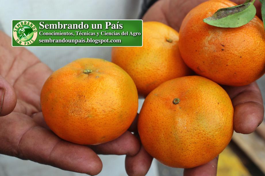 mandarina fruta cítrica