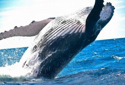 ¿Ballenas jorobadas peligro extinción?