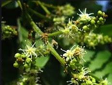 gambar Cara mencegah kerontokan bunga tanaman rambutan pada musim kemarau