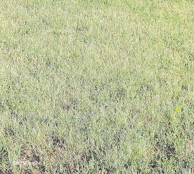 buffalo grass, Bouteloua dactyloides